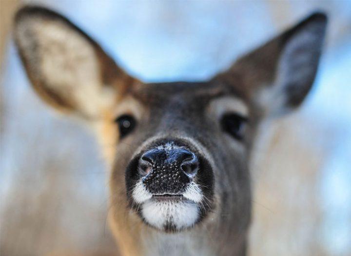 Pourquoi nous ne vous invitons pas à chasser le chevreuil cette année