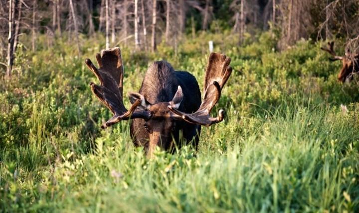 La chasse à l'orignal à la Pourvoirie Mekoos
