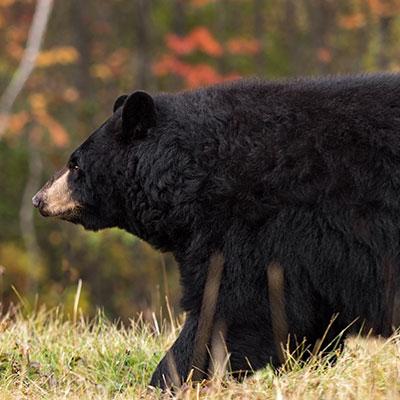 Pourvoirie-Mekoos-hunting-bear-thumbnail