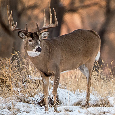 Pourvoirie-Mekoos-hunting-white-tailed-deer-thumbnail2