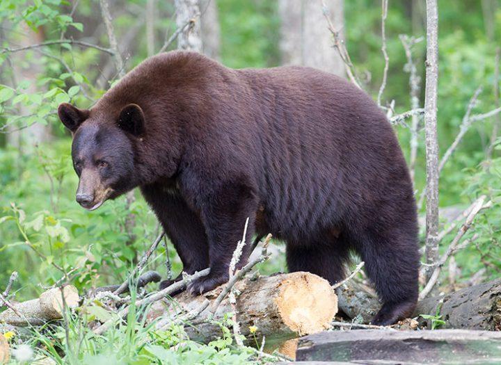 La chasse à l'ours : comment améliorer ses chances