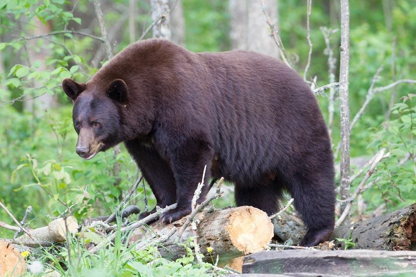 black-bear-pourvoirie-mekoos