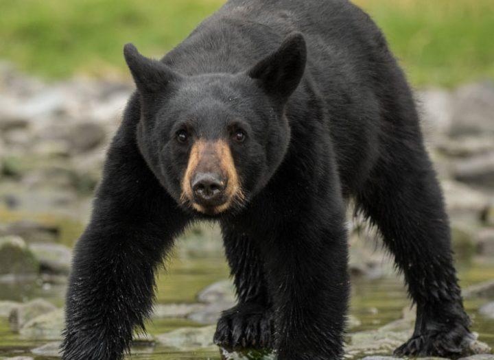 Adieu bancs de neige, bienvenue chasse à l'ours!