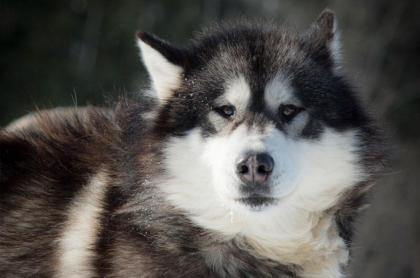 traineau-chien-alaskan_husky-pourvoirie-mekoos