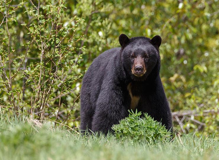 Encore trois mois à patienter pour la chasse à l'ours!