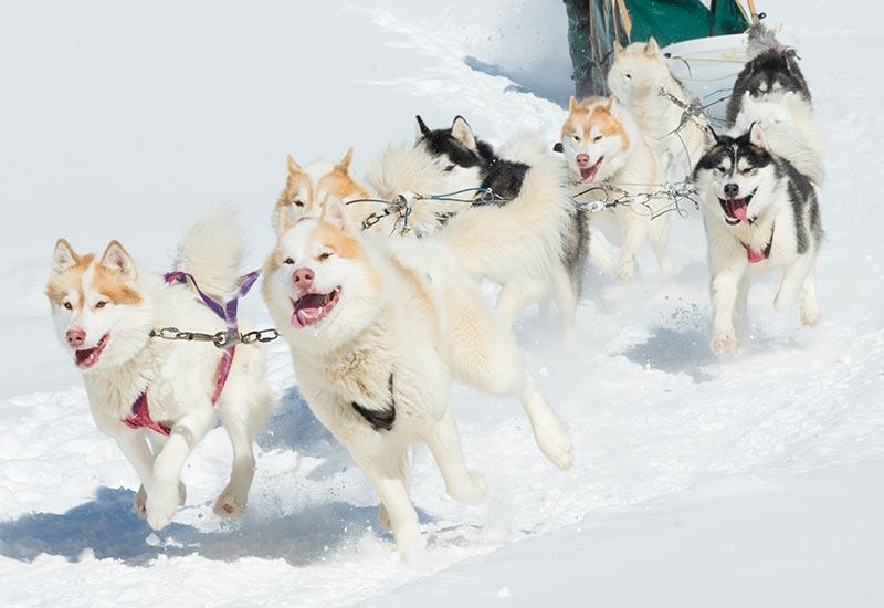 Pourvoirie Mekoos - Journée mémorable en compagnie de belle bête en traineau à chiens
